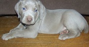 Dew Claws Natures Weimaraner Puppies for Sale