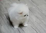 JFD54 friendly,  and sociable Pomeranian For Sale CALL 07031957695