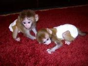 DMRX8 Adorable Twin Pygmy Marmoset and Capuchin 07031957695