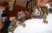 SDZ78 Adorable Twin Pygmy Marmoset and Capuchin 07031957695